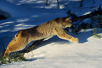 Lynx or Canadian Lynx (Felis lynx) pouncing out of hiding spot.