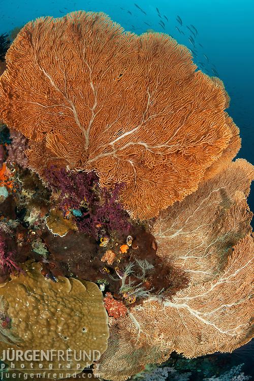 Huge fan corals. Misool, Raja Ampat, West Papua, Indonesia, 11 January 2010