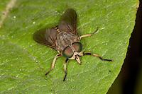 Rinder-Bremse, Rinderbremse, Rinder - Bremse, Tabanus bovinus, large horsefly