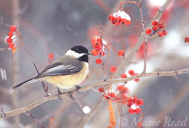 Black-capped Chickadee (Poecile atricapilla) with berries and falling snow in winter, New York, USA<br /> Slide # B123-140