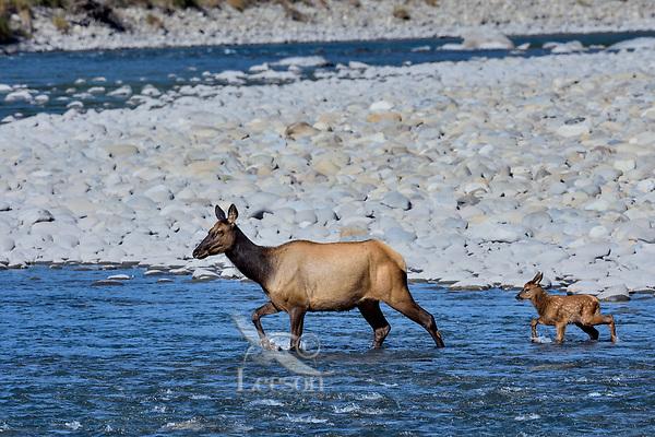 Roosevelt Elk (Cervus canadensis roosevelti) cow and calf, sometimes called Olympic Elk, fording river.  Olympic National Park, WA.  June.
