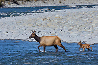 Roosevelt Elk (Cervus canadensis roosevelti) cow and calf, sometimes called Olympic Elk, fording river.  Olympic National Park, WA.  June.