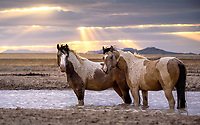 """Wild Horse Sunset<br /> Evening at the waterhole. Young mustangs pause at a windy waterhole as as clouds roll into Utah's West Desert. Nice to spend some time with the wild ones this weekend. October <br /> <br /> """"We preferred our way of living. We are no expense to the Government. All we wanted was peace, and to be left alone"""" -- Crazy Horse, Native American war leader of the Oglala Lakota."""