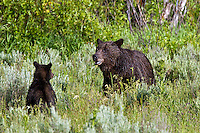 Grizzly sow and  cub, 610, Grand Teton National Park