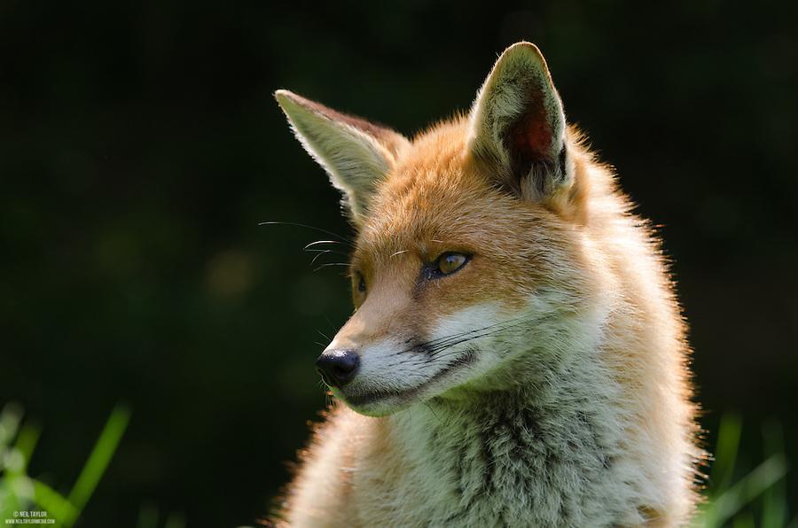 A Captive Fox {Vulpes vulpes} at the British Wildlife Centre