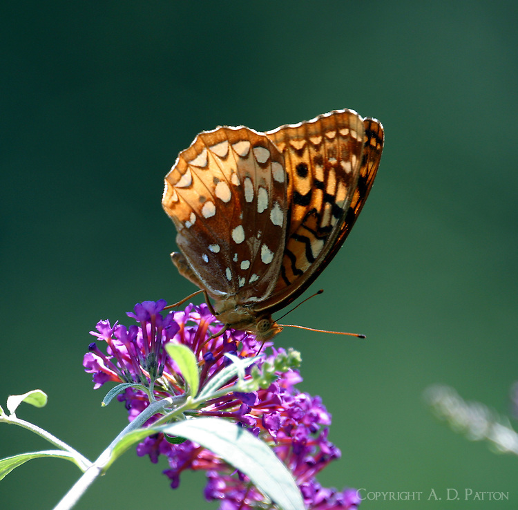 Great spangled fritillary nectaring on butterfly bush