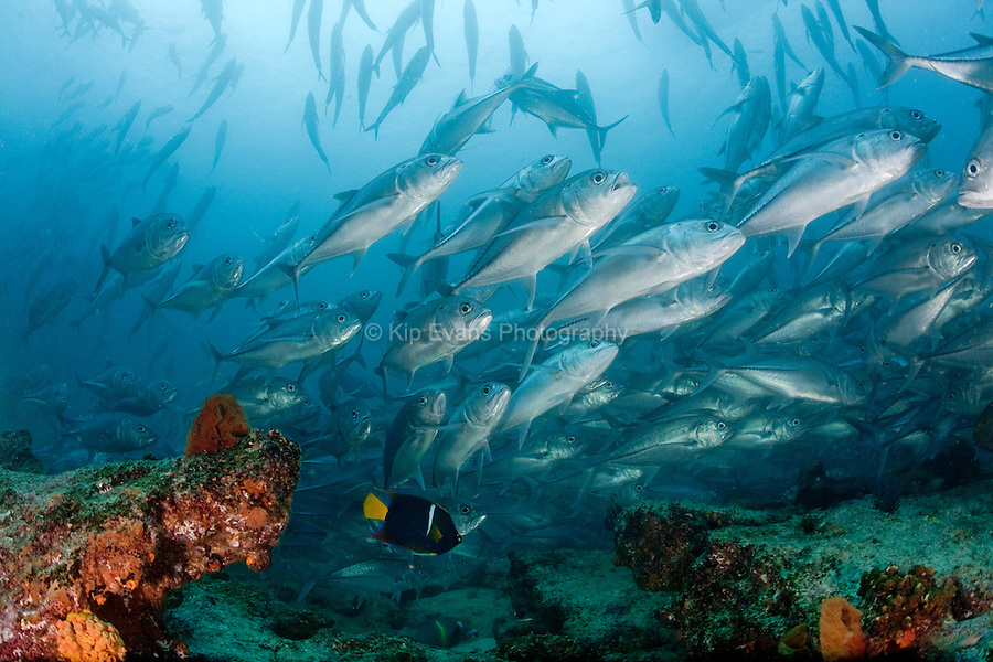 Schools of tropical fish underwater at Cabo Pulmo National Marine Park, Mexico.