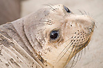 San Simeon, California; a young Northern Elephant Seal (Mirounga angustirostris) pup rests on the sandy beach