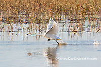 00758-02120 Trumpeter Swans (Cygnus buccinator) taking off from wetland Riverlands Migratory Bird Sanctuary St. Charles Co., MO