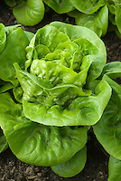 Lettuce Little Gem - Pearl cos dwarf romaine salad vegetable
