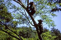 Bruine beer (Ursus arctos), klimmende jongen