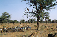 Shepherd feeding his flock with leaves from the Acacia albida, the only tree in the Sahel that keeps its canopy in the dry season. It loses its leaves in the rainy season, when the crops sown together under the trees need more light to grow. The branches that are cut are subsequently used as firewood or to construct fencing for animals. The acacias in general, being pulses, have self-fertilizing roots which lock nitrogen into the soil, thereby lending themselves to agroforestry