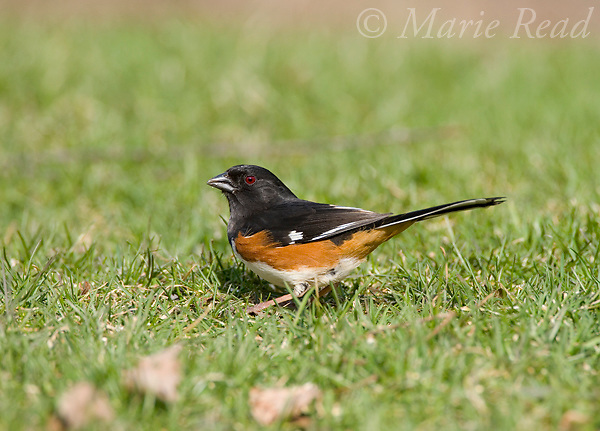 Eastern Towhee (Pipilo erythrophthalmus) male, New York, USA