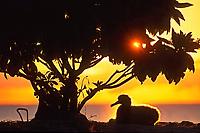 bird, Laysan albatross, Phoebastria immutabilis, chick under Scaevola at sunset, Midway Atoll, Papahanaumokuakea Marine National Monumen, Northwestern Hawaiian Islands, Hawaii, Pacific Ocean