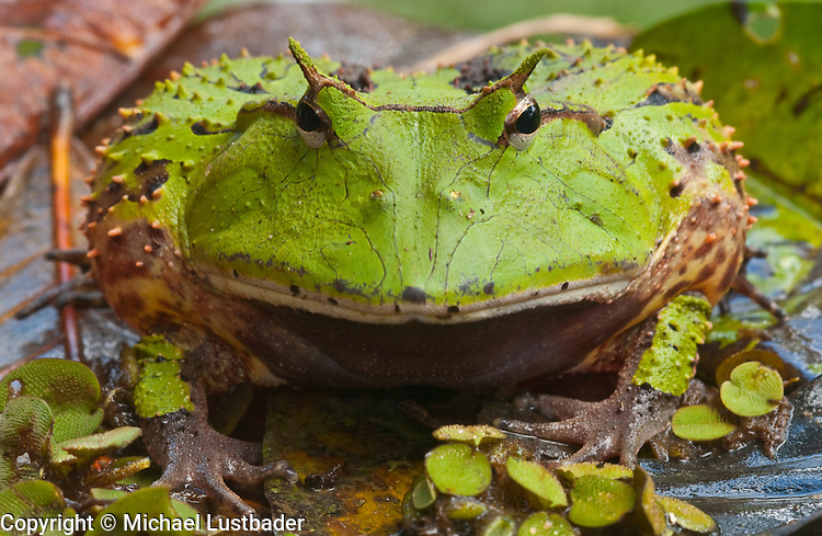 Amazon Horned Frog (Ceratophrys cornuta) in Peruvian Amazon.