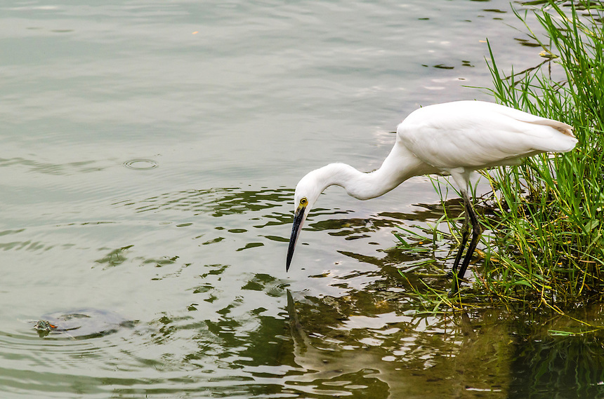 Egret and turtle,Bangkok, Thailand