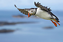 Atlantic puffin (Fratercula arctica) in flight, Isle of Lunga, Treshnish Isles, Scotland, June.