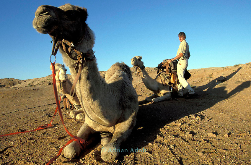 Benedict Allen on his journey through the Namib desert, Skeleton Coast, Namibia; preparing his camels in the morngn for  a days travel.