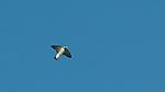 Woodswallow, Troton Bay, Papua