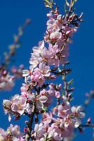 Spain, Costa Blanca, bei El Castell de Guadalest: Almond Blossom | Spanien, Costa Blanca, bei El Castell de Guadalest: Mandelbluete
