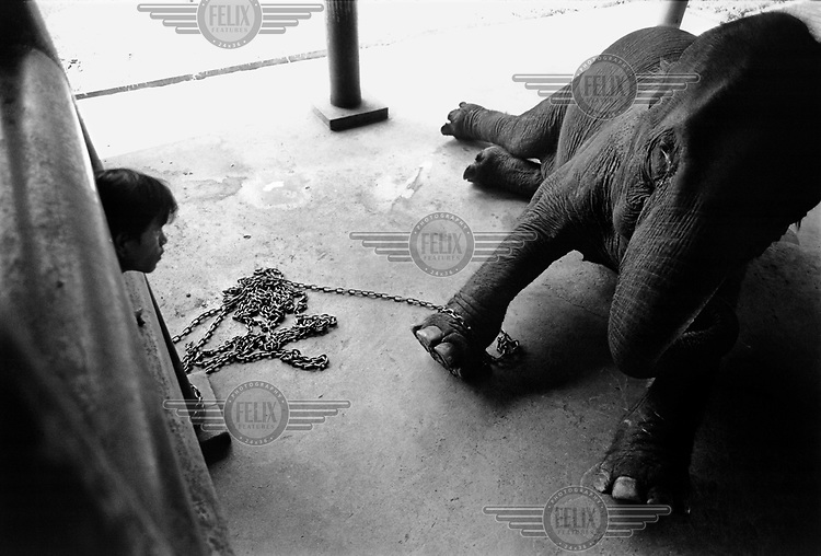 A young mahout watches over a dying elephant at the Lampang Elephant Hospital.