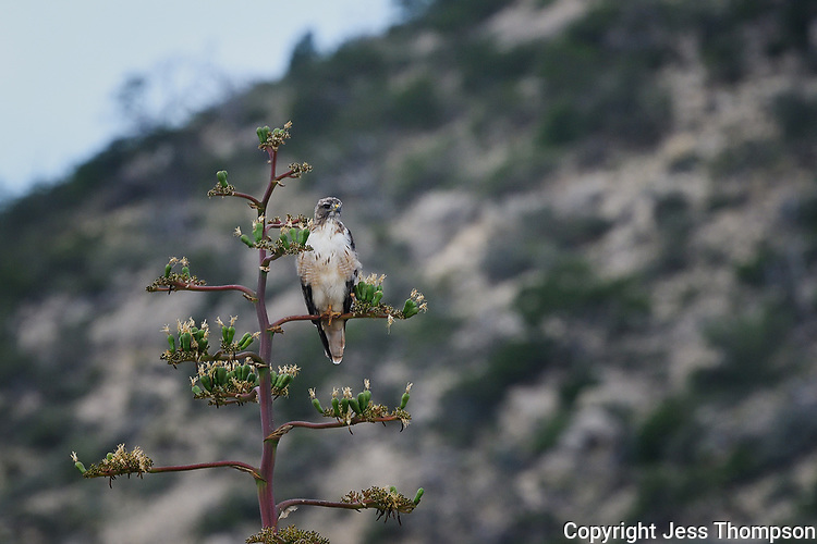 Swainson's Hawk perched on Century Plant