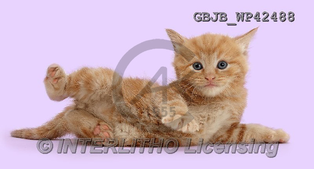 Kim, ANIMALS, REALISTISCHE TIERE, ANIMALES REALISTICOS, cats, photos,+Ginger kitten lying on its side,++++,GBJBWP42488,#a#