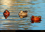 Cinnamon Teals, Males and Female, Drakes and Hen, Newport Back Bay, Southern California