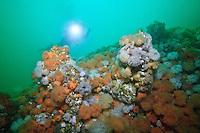 Scuba diver Suelaine Gin  swims a colorful reef covered with White and Orange Plumose Anemones  ( Metridium farcimen and Metridium senile ) underwateer in Haida Gwaii, British Columbia, Canada.