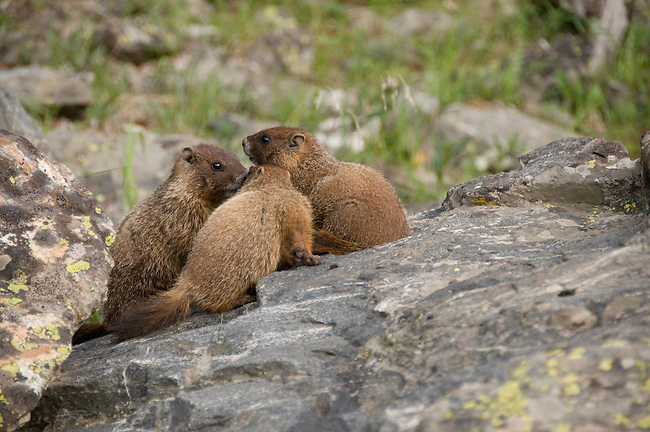 young, yellow-bellied marmots, Marmota flaviventris, along Colorado River Trail, wildlife, summer, afternoon, Rocky Mountain National Park, Colorado, Rocky Mountains, USA