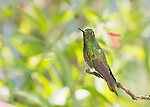 Buff-tailed coronet, Boissonneaua flavescens. Tandayapa Valley, Ecuador