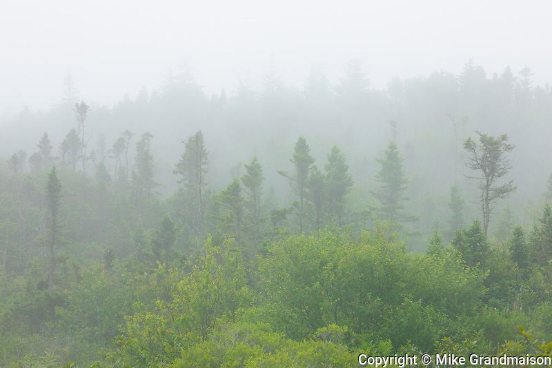 Spruce trees in fog<br /> Brier Island<br /> Nova Scotia<br /> Canada
