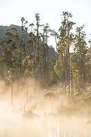 Native forest of kahikatea at Lake Wahapo near Whataroa at sunrise, Westland Tai Poutini National Park, West Coast, UNESCO World Heritage Area, New Zealand, NZ