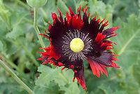 Opion Poppy, Papaver somniferum Burgundy Frills, a frilly petal type of  Opium Poppy flowers