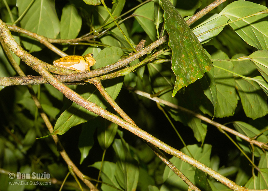 Common Mexican Treefrog, Smilisca baudinii, near Arenal Volcano National Park, La Fortuna, Costa Rica