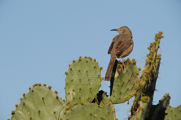 Curve-billed Thrasher (Toxostoma curvirostre), adult perched on Texas Prickly Pear Cactus (Opuntia lindheimeri), Dinero, Lake Corpus Christi, South Texas, USA