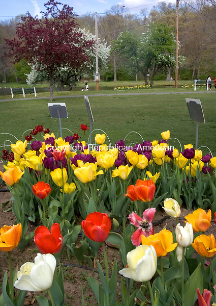 WATERBURY, CT. 20 April 2012-042012SV14-Tulips are in full bloom at Fulton Park in Waterbury Friday..Steven Valenti Republican-American