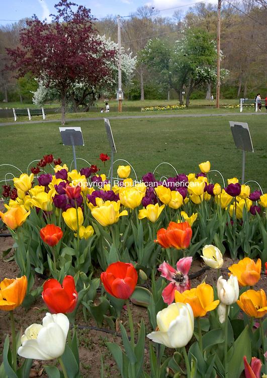 WATERBURY, CT. 20 April 2012-042012SV14-Tulips are in full bloom at Fulton Park in Waterbury Friday..Steven Valenti Republican-American