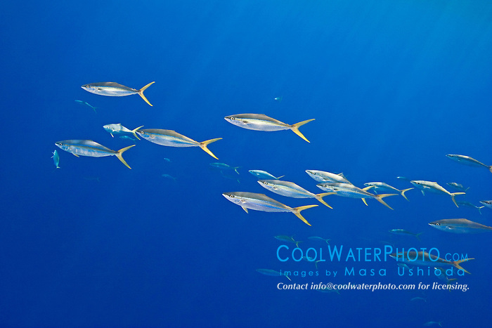 Schooling rainbow runners, Elagatis bipinnulatus, off Kona Coast, Big Island, Hawaii, Pacific Ocean