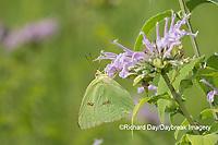 03091-00518 Cloudless Sulphur (Phoebis sennae) on  Wild Bergamot (Monarda fistulosa)  Marion Co. IL