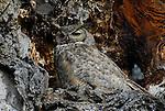 Great-horned owl nesting in oak tree