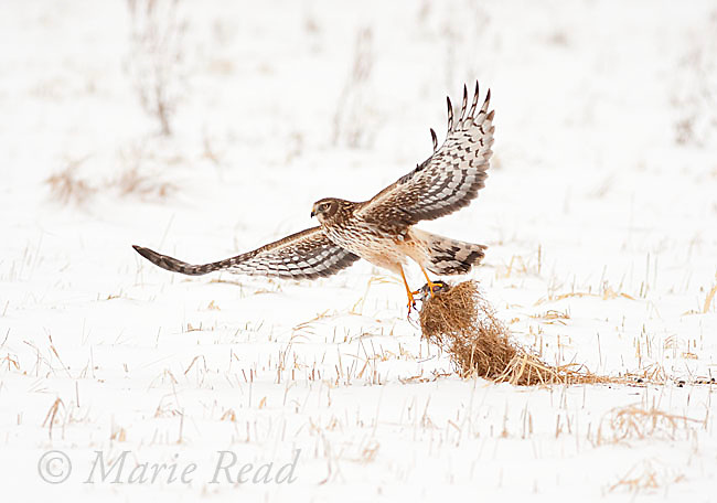 Northern Harrier (Circus cyaneus) female taking flight with prey (and grass) in talons, New York, USA