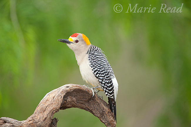 Golden-fronted Woodpecker (Melanerpes aurifrons), male, Cozad Ranch, Rio Grande Valley, Texas, USA