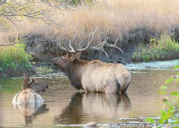 Bull Elk in Water, Rocky Mountain National Park, Colorado
