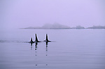 A family group of orcas, or killer whales, cruises through the Johnstone Strait in British Columbia, Canada in search of schools of salmon.