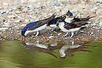 Mehlschwalbe, Schwalben sammeln Schlamm, Lehm in einer Pfütze zum Nestbau, Mehl-Schwalbe, Schwalbe, Delichon urbicum, Delichon urbica, common house martin