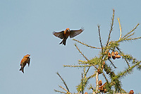 Common Crossbill, Loxia curvirostra
