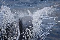 White beaked Dolphin Lagenorhynchus albirostris breaking surface at speed to breath. Spitzbergen, Arctic Norway