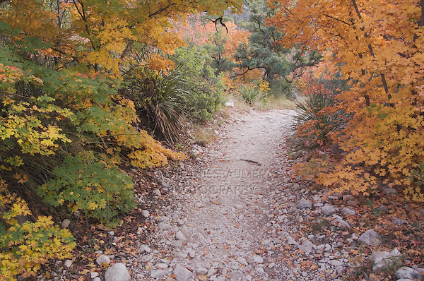 McKittrick Canyon trail and Bigtooth Maples (Acer grandidentatum) fallcolors, McKittrick Canyon, Guadalupe Mountains National Park, Texas, USA, November 2005