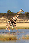 Giraffe ( Giraffa camelopardalis), wading through seasonal water on pan, Etosha National Park, Namibia
